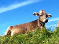 Kuh auf dem Nebelhorn