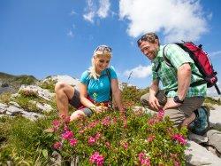 die Alpenrosen bestaunen