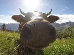 Neugierige Kuh am Fellhorn