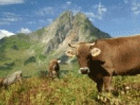 Sommertraum nicht nur für Kühe