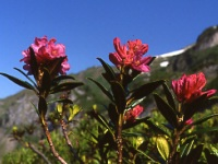Alpenrosenblühte in den Allgäuer Bergen