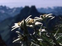 Edelweißblüte in den Allgäuer Alpen