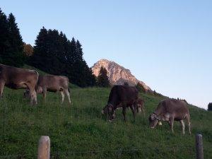 Rinder oberhalb von Reichenbach