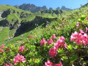 Alpenrosen im Sperrbachtobel