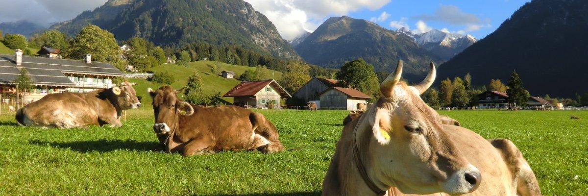 Kühe im Ösch