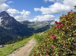 Alpenrosen am Wegrand