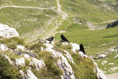 Die Bergdohlen genießen den Ausblick