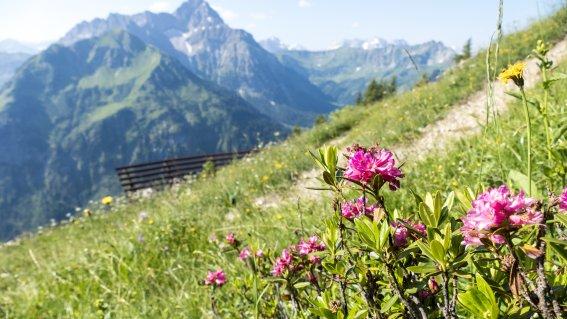 Alpenrosen vor dem Widderstein