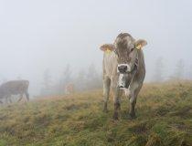 Kuh im Nebel