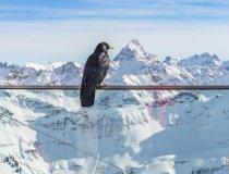 Nebelhorn, Alpendohle