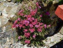 Blumen am Gipfelkreuz