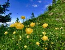 Grünten Trollblumen am Gipfel