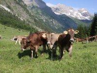 Oberstdorfer Kühe